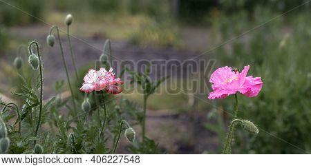 Panoramic Shot Of Poppy Originality.pink Poppy On A Wonderful Background. Pink, Tender, Air, Life-gi