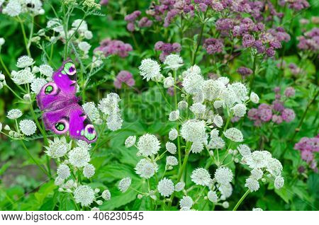 Unfocused Background With White And Pink Flowers And A Purple Butterfly. Selective Focus