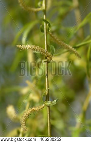 Golden Weeping Willow Branch - Latin Name - Salix Alba Subsp. Vitellina Pendula