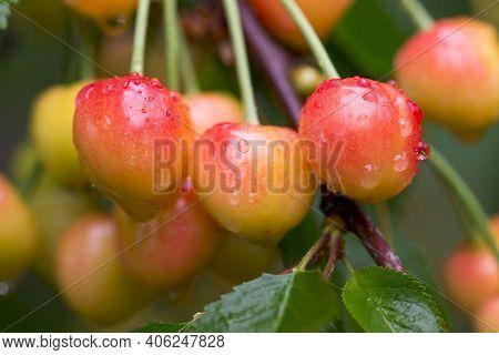 Cherries Hanging On A Cherry Tree Branch. Juicy Red Cherries On Cherry Tree