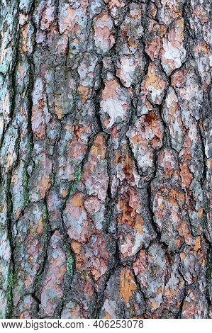 Natural Pine Tree Bark. Abstract Background. Tree Bark. Close-up View Of The Bark Of A Pine Tree. Tr