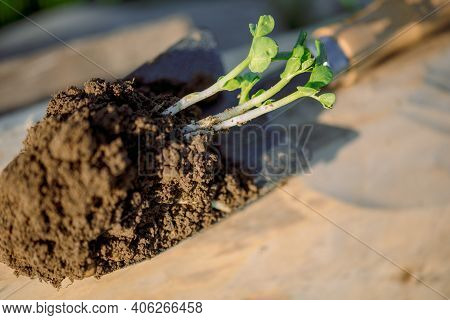 Work Of The Farmer In Infield.planting Vegetables.young Seedling Close Up Working In Vegetable Garde