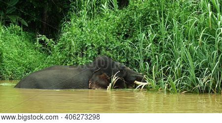 Large Bull Elephant In The Kinabatangan River, Malaysia