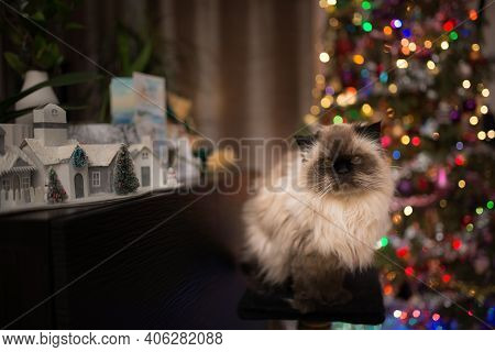 Portrait Of A Himalayan Cat In Front Of A Christmas Tree And Christmas Decoration
