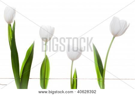 White Tulips Family