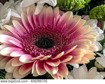 Large Luxurious Bright Pink Flower With The Latin Name Gerbera
