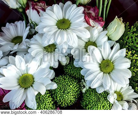 Fresh, Delicate White Flowers With The Latin Name Chrysanthemum