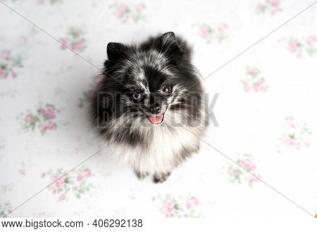 Pomeranian Merle Color Dog Sitting On A Set, Obedient Little Dog In A Photography Studio