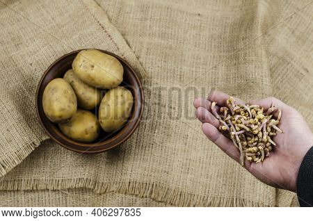 Palm With Potato Sprouts And Raw Potatoes. A Man's Hand Holds The Broken Off Potato Sprouts. Bowl Of