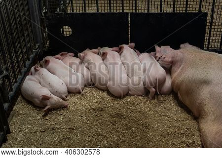 Little Piglets Suckling Their Mother Inside Industrial Pen At Farm