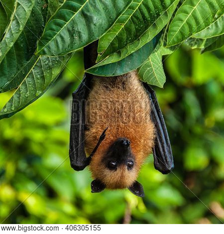 A Seychelles Fruit Bat Or Flying Fox Pteropus Seychellensis Hanging From A Branch At La Digue, Seych