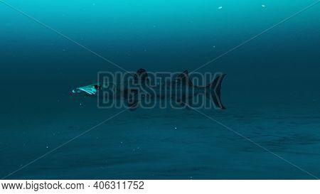 Closeup Of Barracuda Fish Swimming In The Clean Deep Blue Ocean Water, Beauty Of Sea Life, 4k High Q