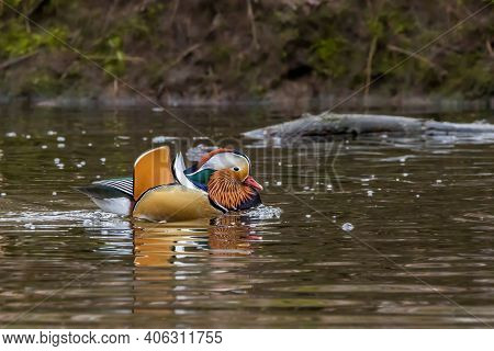 A Beautiful Mandarin Duck Swimming In A Little Pond Called Jacobiweiher Not Far Away From Frankfurt,