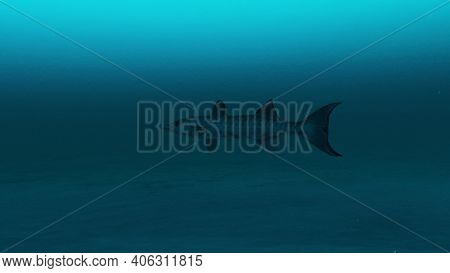 Barracuda Fish Swimming In The Clean Deep Blue Ocean Water, Beauty Of Sea Life, 4k High Quality.3d R