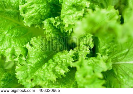 Green Lettuce Leaves Close Up. Healthy Food. Green Background.