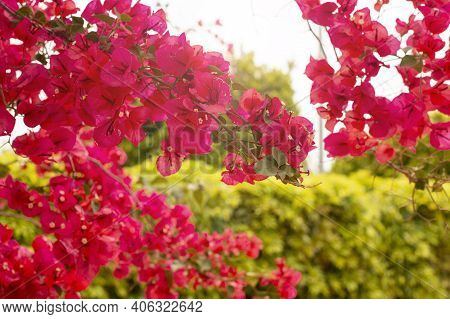 Bright Branch Of Red Bougainvillea Flowers On A Background Of Lush Green Foliage Foliage, Nature Tex