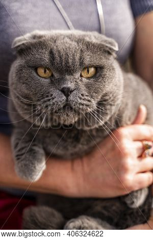 A Noble, Serious Cat Lies In His Arms. The Scottish Fold Is A Short-eared Scottish Fold Cat With Blu