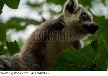 Ring- Tailed Lemur ( Lemur Catta) Close Up. Wildlife Madagaskar.
