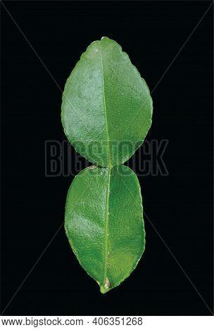 Daun Jeruk Purut Or Kaffir Lime Leaf, Isolated On Black Background
