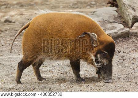 Red river hog (Potamochoerus porcus), also known as the bush pig.