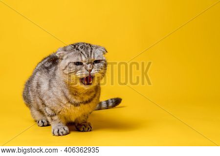 Angry Scottish Fold Cat Meows With Displeasure. Copy Space. Yellow Background.