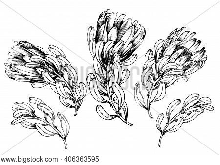 Ink Hand Drawn Set Of Exotic Protea Flowers. Botanical Elements Collection For Design, Vector Illust