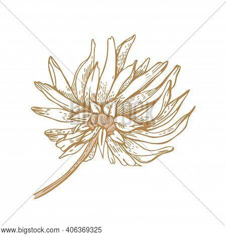 Chrysanthemum Flower. Dahlia. Vector Illustration. Sketch Graphics.