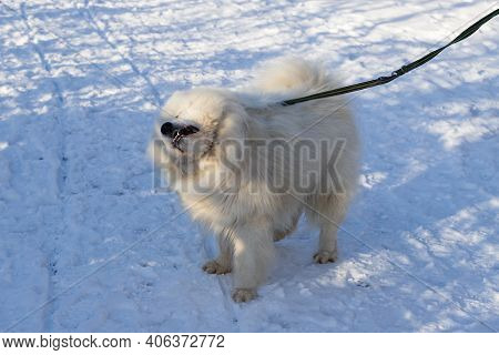 Samoyed - Samoyed Beautiful Breed Siberian White Dog. He Stands In The Snow, Fastened To A Leash And