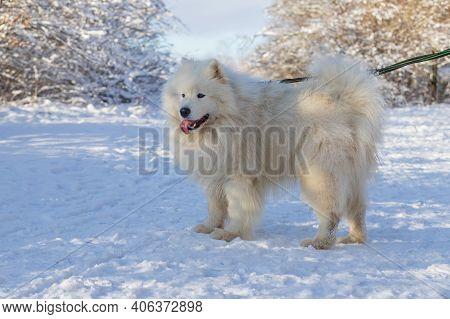 Samoyed - Samoyed Beautiful Breed Siberian White Dog. Samoyed Has His Tongue Out. The Dog Is Fastene