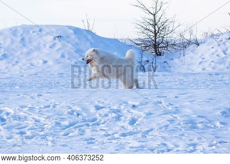 Samoyed - Samoyed Beautiful Breed Siberian White Dog Running In The Snow. He Has An Open Snout And A