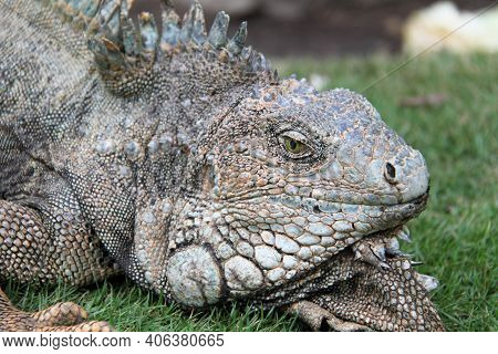 Terrestrial Iguana Of Guayaquil In Ecuador . High Quality Photo