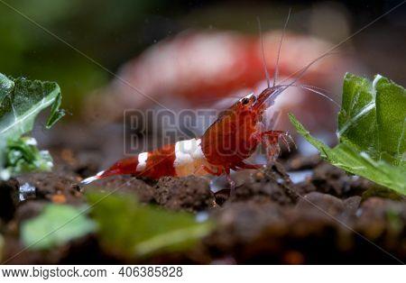 Crystal Red Wine Dwarf Shrimp Eat Vegetable As Food And Other Shrimp As Background In Freshwater Aqu