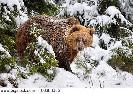 Wild Brown Bear (ursus Arctos) In Winter Forest