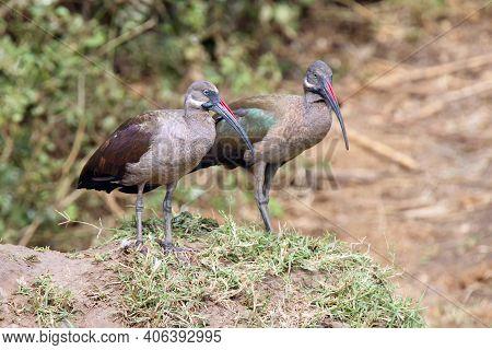 The Hadada Or Hadeda Ibis (bostrychia Hagedash), Two Birds Sitting On A Riverbank.a Pair Of Brown Ib