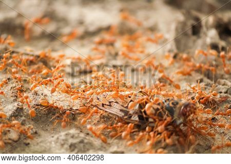 Close-up Shot Of Red Ants Scavenging A Dead Fly.