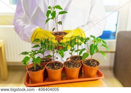Gardener Breeder Holds A Tray With Seedlings. A Professional Breeder Grows New Varieties Of Vegetabl