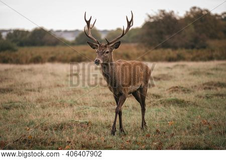 Richmond Upon Thames, London | Uk -  2020.10.10: Group Of Deer In Richmond Park. The Largest Park Of