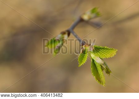 Young Spring Green Leaves On A Branch. First Spring Tender Leaves, Buds And Branches Close-up. Natur
