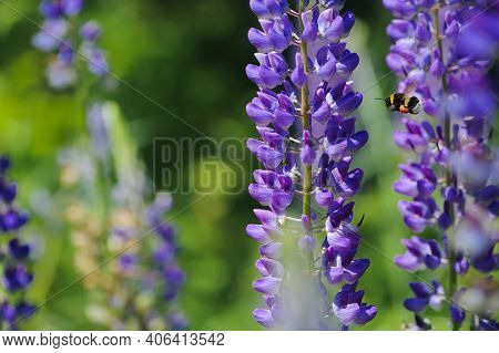 Bumblebee Flying On Beautiful Purple Forest Flowers, Close-up. Lupine Flower And Flying Bumblebee. S