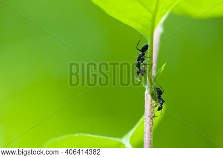 Two Black Ants Lasius Niger, On A Leaf With A Green Blurred Background. Macro Of Two Black Ants On A