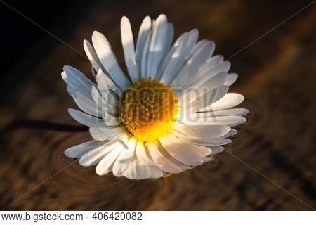 Macro Shot Of A White Daisy, Bellis Perennis Isolated On Water.