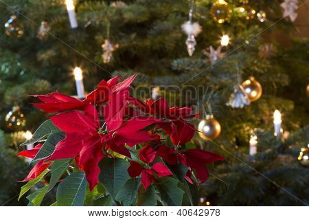 Winter Rose in Front of Christmas Tree