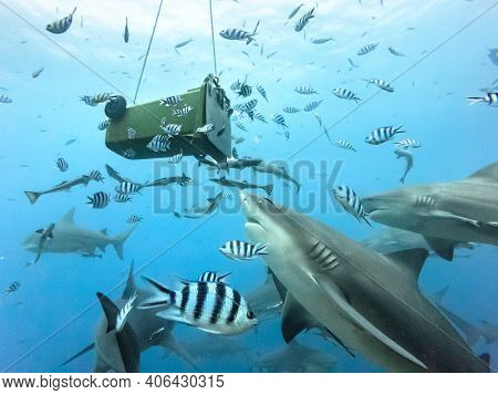Bull Shark Feeding From Trash Bin In Beqa Lagoon Pacific Ocean Fiji