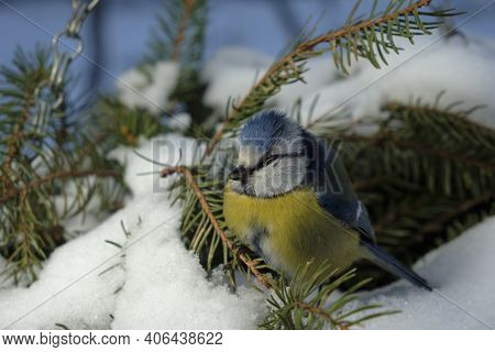 Bird Blue Tit In The Forest, Snowflakes And A Beautiful Branch Of The Christmas Tree. Wildlife Scene