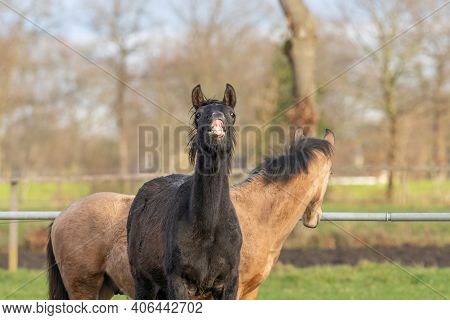 Two-year-old Horses In The Pasture. A Black And A Yellow Foal. A Foal Pulls Its Lip Up And Makes A F