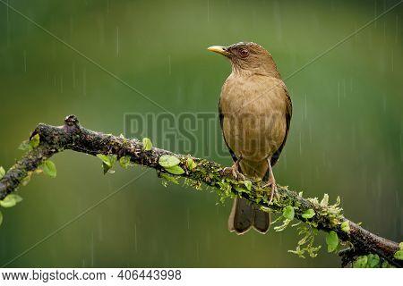 Clay-colored Thrush - Turdus Grayi Common Middle American Bird Of The Thrush Turdidae, National Bird