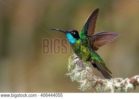 Talamanca (admirable) Hummingbird - Eugenes Spectabilis Is Large Hummingbird Living In Costa Rica An