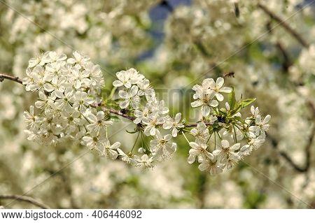 Honey Plants. Inspiring Nature. Pollen Allergy. Seasonal Allergy. Botanical Garden Concept. Cherry F