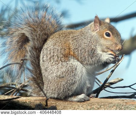 Plump Brown Squirrel Making A Meal Of An Acorn On A Sunny Winter Day