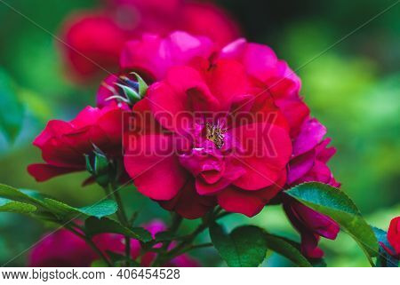 Hansaland Rose - Dark Crimson Red Roses Flowering In Summer Garden